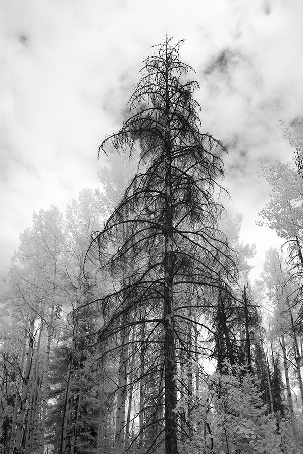 Infrared Photograph of Dark Pine Surrounded by Other Trees.