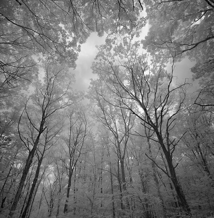 Forest Trees and Canopy in Infrared.