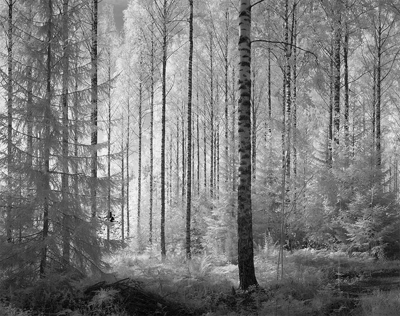 Infrared Panorama of Birch Forest, Central Finland.