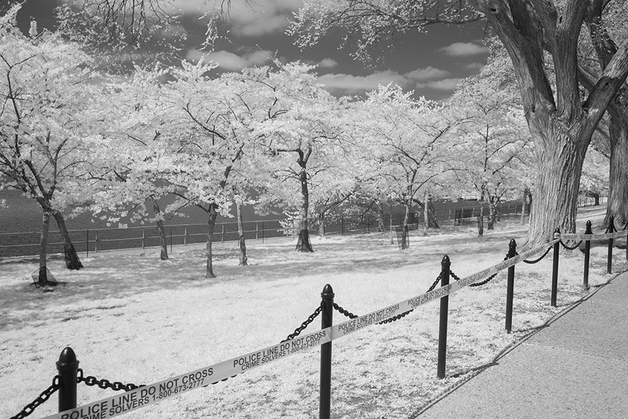 Infrared Photo of Cherry Trees in Bloom Behind Police Tape