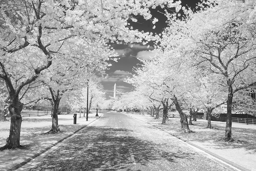 Infrared Photo of Road with Blooming Cherry Trees and the Washington Monument in the Distance.