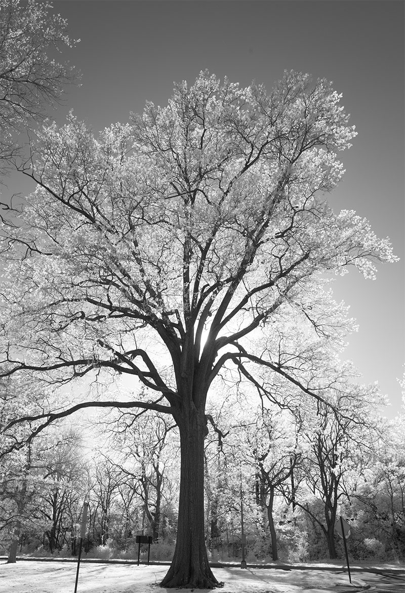 Backlit Infrared Photo of Tree